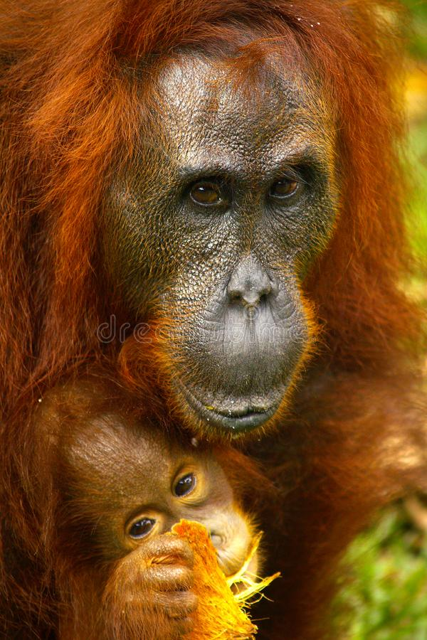 Orang-outan femelle avec son b?b? images libres de droits