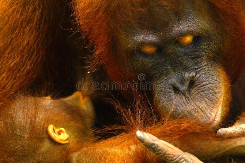 Orang-outan femelle avec son b?b? photos stock