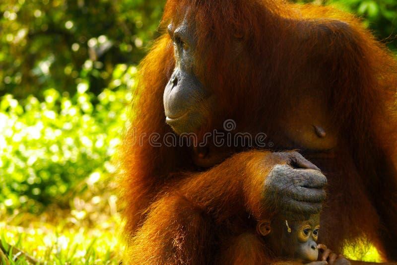Orang-outan femelle avec son b?b? photos libres de droits