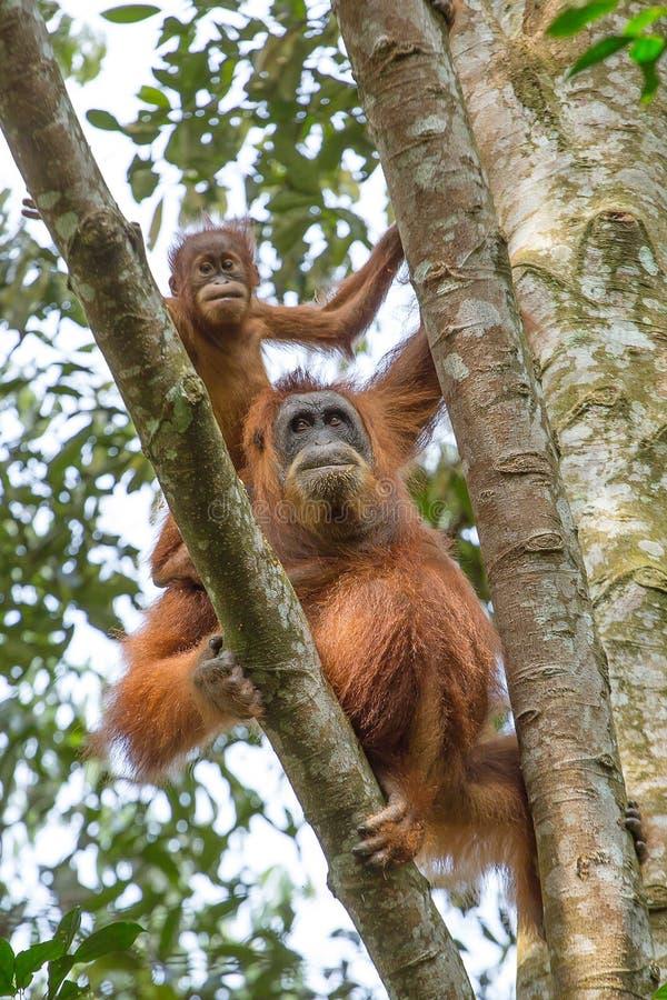 Orang-outan femelle avec un bébé accrochant sur un arbre photos libres de droits