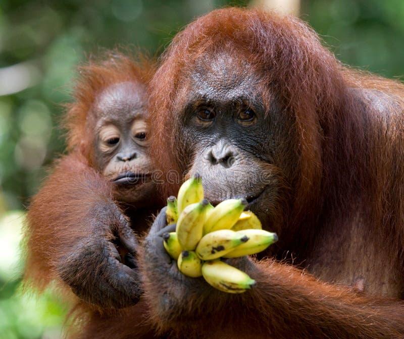 Orang-outan femelle avec un bébé dans le sauvage l'indonésie L'île de Kalimantan et de x28 ; Borneo& x29 ; photographie stock