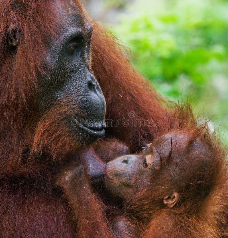 Orang-outan femelle avec un bébé dans le sauvage l'indonésie L'île de Kalimantan et de x28 ; Borneo& x29 ; photos stock