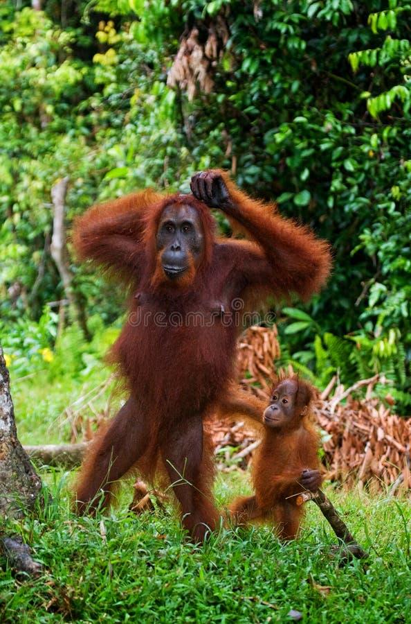 Orang-outan femelle avec un bébé dans le sauvage l'indonésie L'île de Kalimantan et de x28 ; Borneo& x29 ; image stock