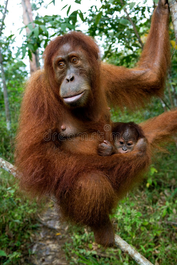 Orang-outan femelle avec un bébé dans le sauvage l'indonésie L'île de Kalimantan et de x28 ; Borneo& x29 ; images libres de droits