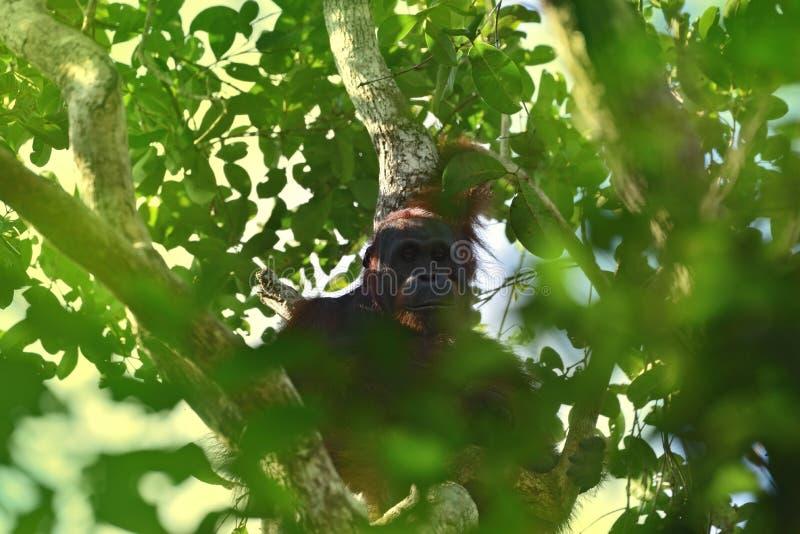 Orang-outan femelle d'orang-outan - Bornéo photographie stock