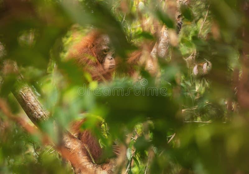 Orang-outan femelle d'orang-outan - Bornéo image libre de droits