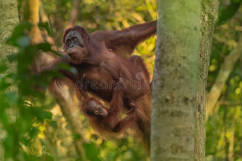 Orang-outan femelle d'orang-outan - Bornéo images stock