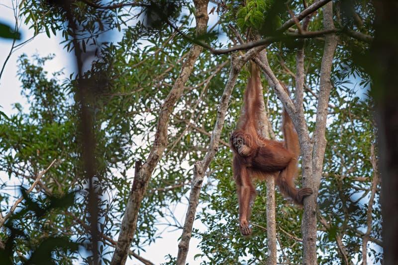 Orang-outan femelle d'orang-outan - Bornéo photo stock