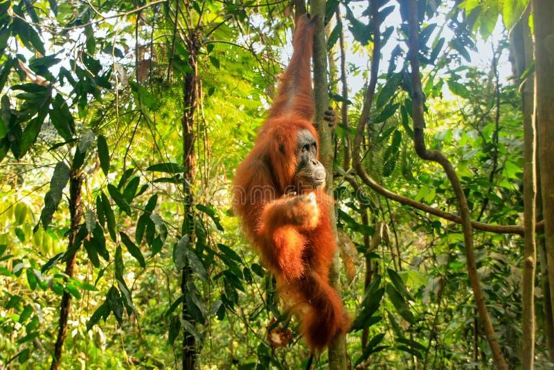 Orang-outan femelle de Sumatran accrochant dans les arbres, Na de Gunung Leuser photographie stock