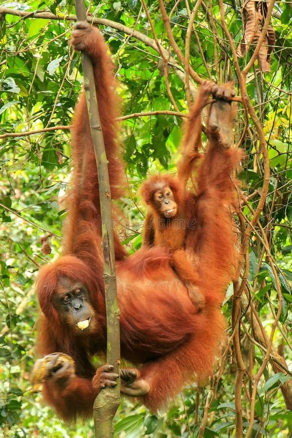 Orang-outan femelle de Sumatran avec un bébé accrochant dans les arbres, Gunu photos stock