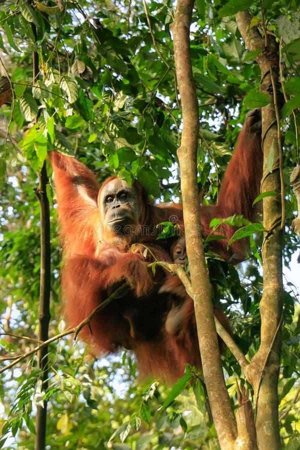 Orang-outan femelle de Sumatran avec un bébé s'asseyant sur un arbre dans Gunun image stock
