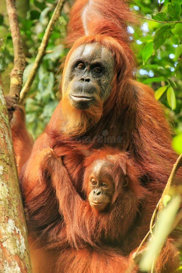 Orang-outan femelle de Sumatran avec un bébé s'asseyant sur un arbre en parc national de Gunung Leuser, Sumatra, Indonésie photos stock
