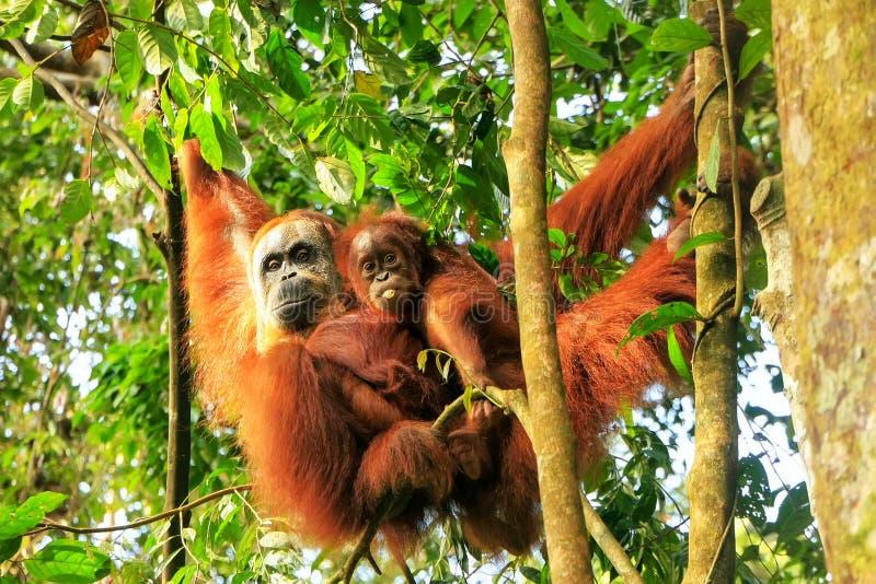 Orang-outan femelle de Sumatran avec un b?b? accrochant dans les arbres, parc national de Gunung Leuser, Sumatra, Indon?sie photographie stock libre de droits