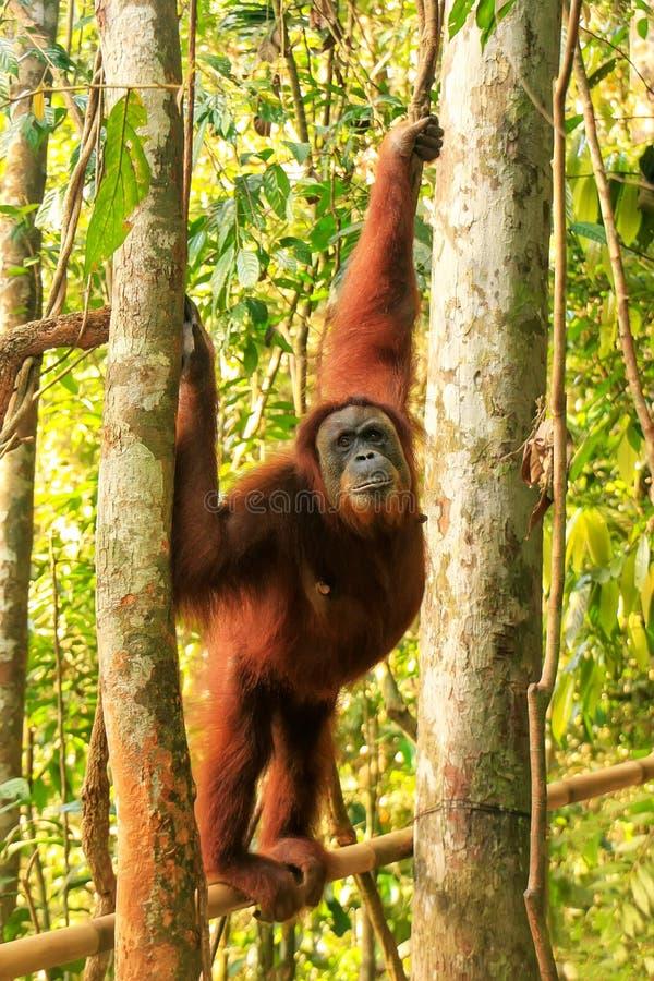 Orang-outan femelle de Sumatran se tenant sur un bambou dans Gunung Leuser photos libres de droits