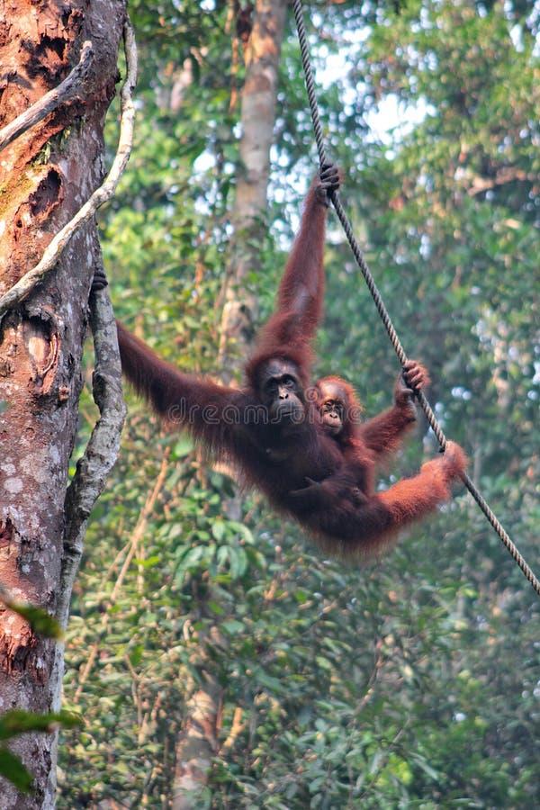 Orang-outan femelle du Bornéo avec son petit animal, accrochant chez le Semenggoh N image libre de droits