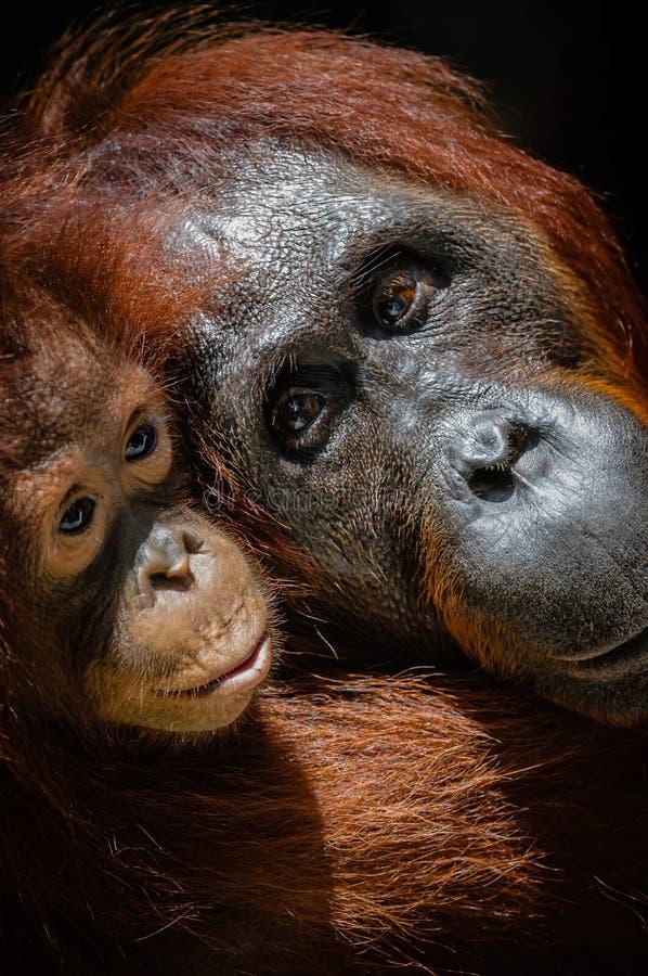 Orang-outan infantile avec la mère photographie stock libre de droits