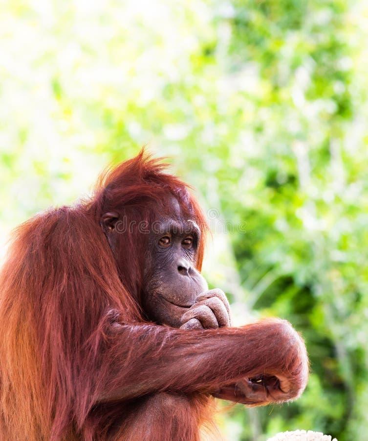 Orang-outan mâchant ses ongles de doigt images stock
