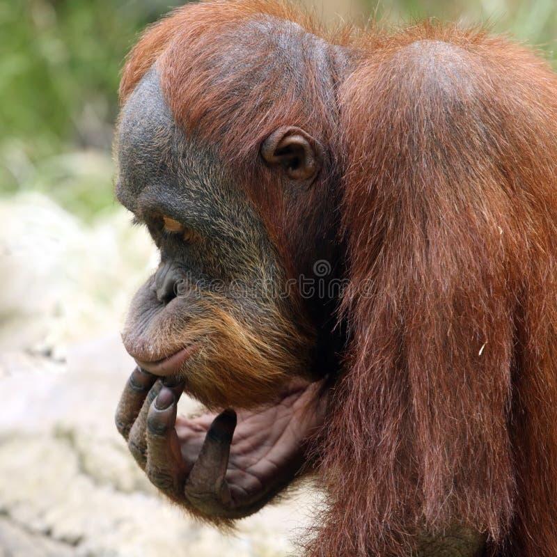 orang-outan méditant image stock