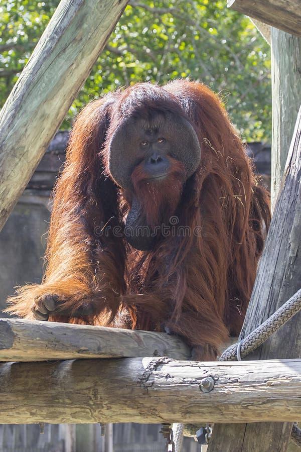 Orang-outan masculin de Bornean images stock