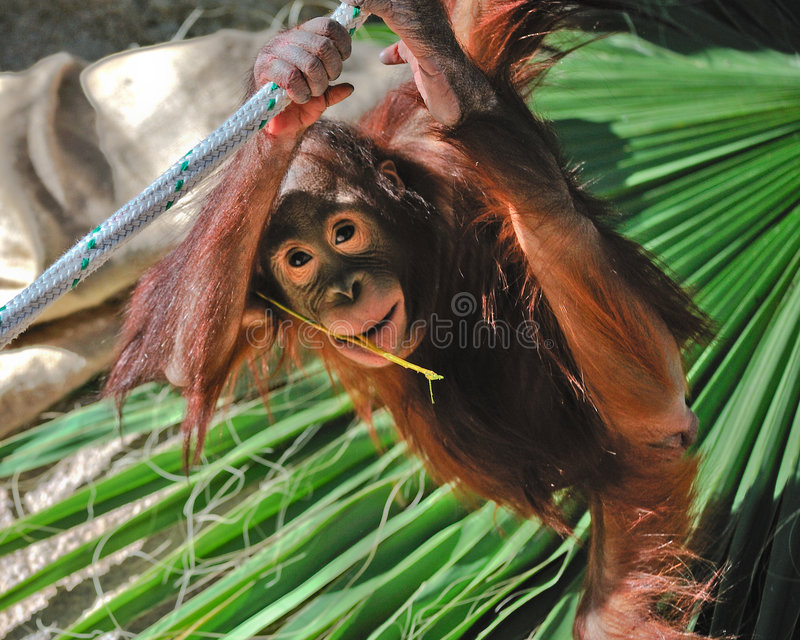 orang-outan mignon de chéri image libre de droits