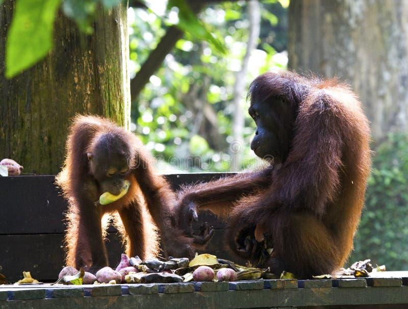 Orang-outan-oetan de Borneose, orang-outan de Bornean, pygmaeus de Pongo photographie stock