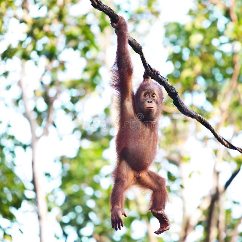 Orang-outan s'arrêtant sur la vigne image libre de droits