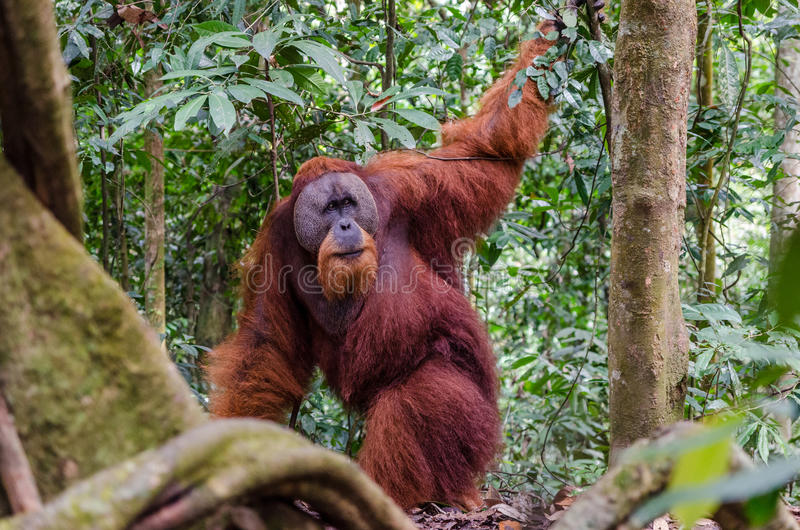 Orang-outan sauvage de Sumatran dans Sumatra du nord, Indonésie photographie stock