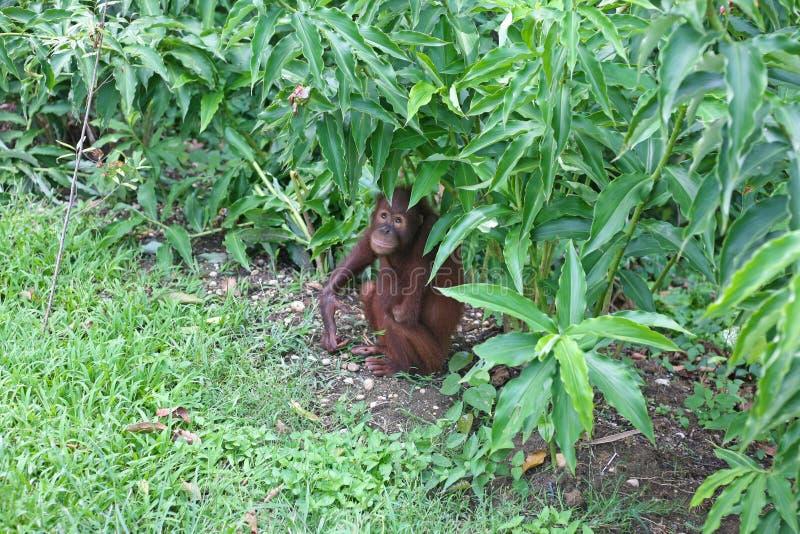Orang-outan se cachant dans la broussaille image libre de droits