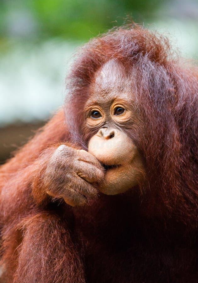 Orang-outan se reposant en nature image libre de droits