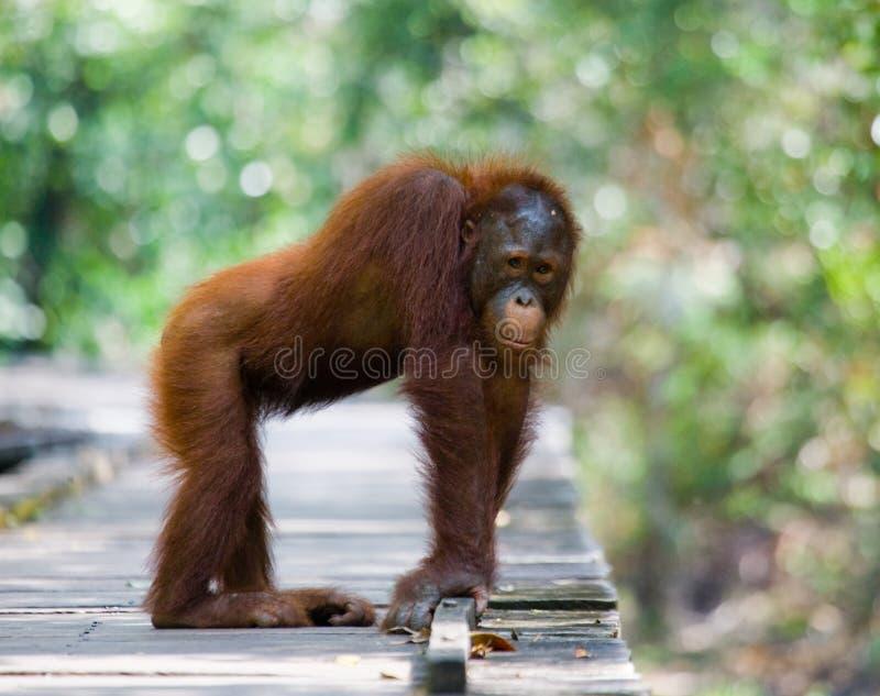 Orang-outan se tenant sur une plate-forme en bois dans la jungle l'indonésie L'île de Kalimantan Bornéo photo stock