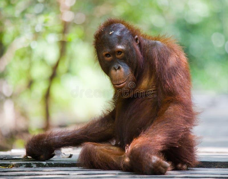 Orang-outan se tenant sur une plate-forme en bois dans la jungle l'indonésie L'île de Kalimantan Bornéo image stock