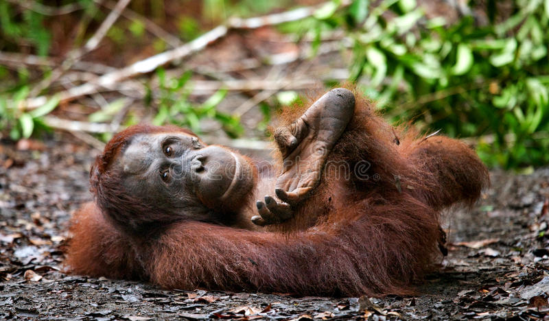 Orang-outan se trouvant au sol dans la jungle l'indonésie L'île de Kalimantan et de x28 ; Borneo& x29 ; photo libre de droits