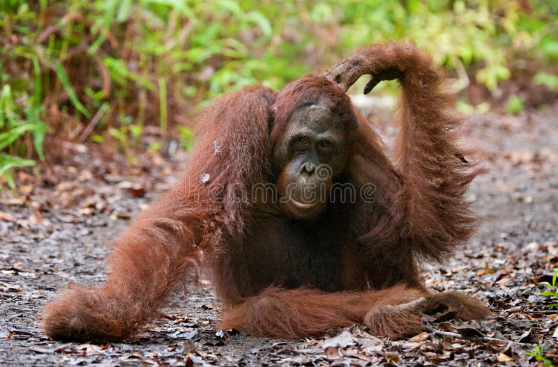 Orang-outan se trouvant au sol dans la jungle l'indonésie L'île de Kalimantan et de x28 ; Borneo& x29 ; photos libres de droits