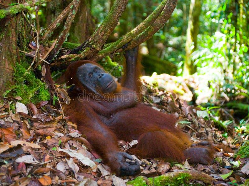 Orang-outan se trouvant au sol dans la jungle l'indonésie L'île de Kalimantan et de x28 ; Borneo& x29 ; photos stock