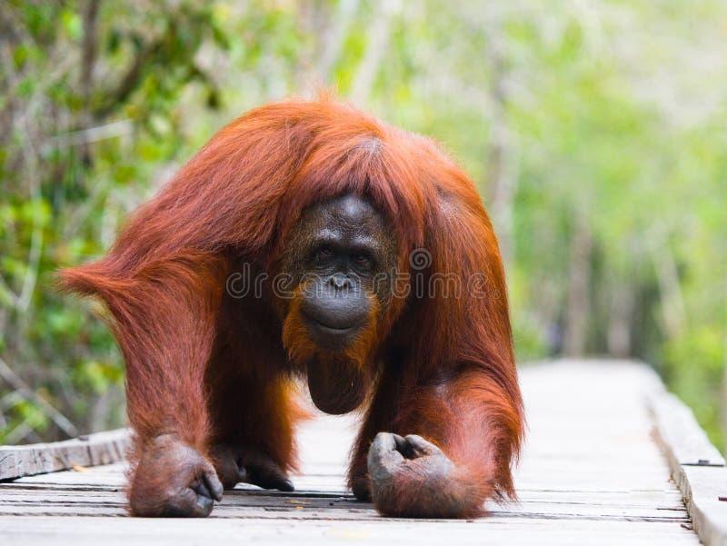Orang-outan se trouvant sur une plate-forme en bois dans la jungle l'indonésie L'île de Kalimantan Bornéo image stock