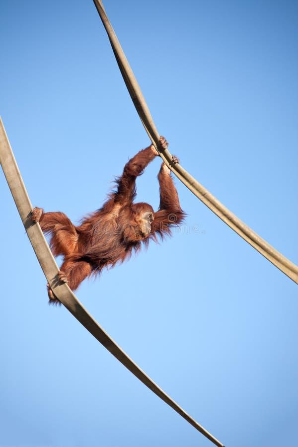 Orang-outan sur les cordes image stock