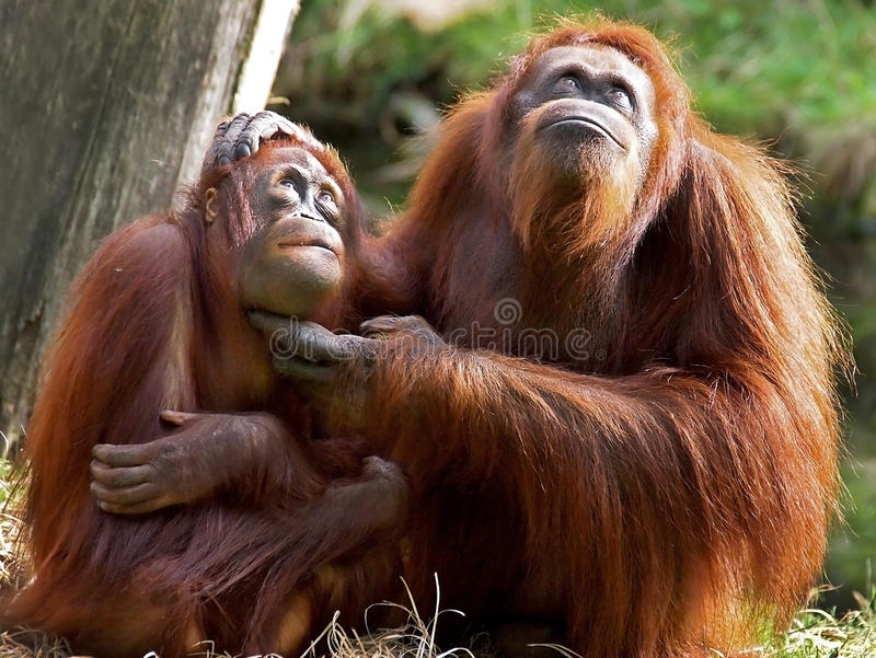 Orang-outan Utan photographie stock libre de droits
