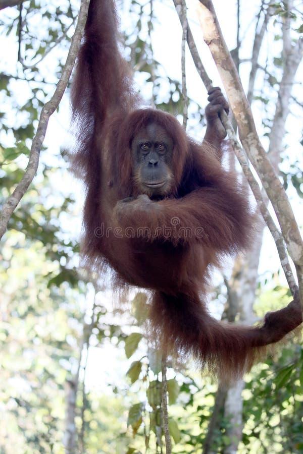 Orang-outan utan, abelii de Pongo photo stock