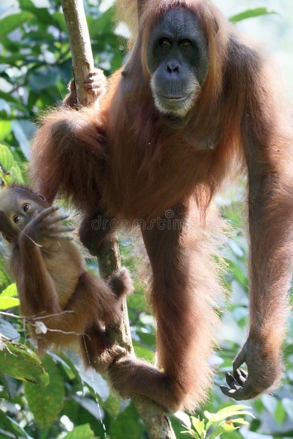 Orang-outan utan, abelii de Pongo images stock
