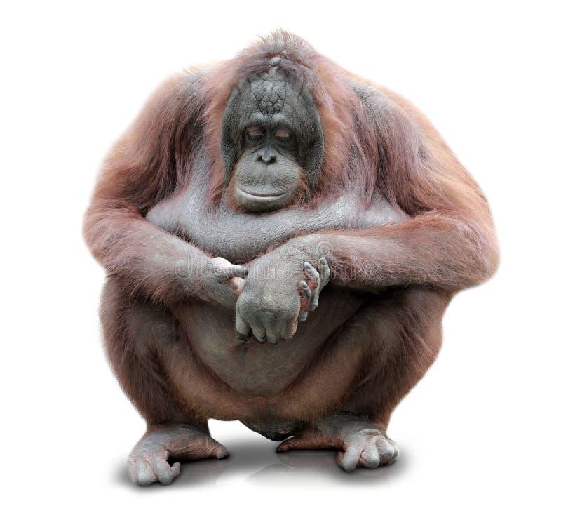 Orang-outan Utan se reposant sur le fond de tableau blanc photographie stock libre de droits