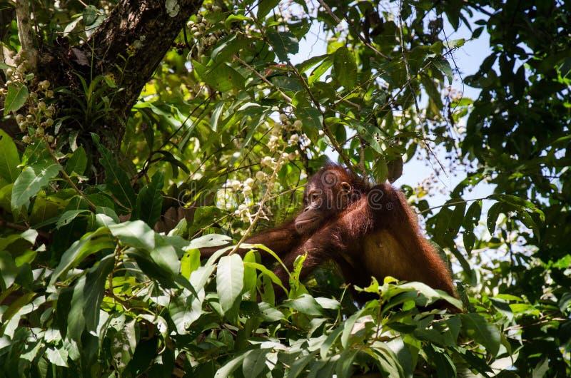 Orang-outan Utan, vallée de Bornean de Danum photo libre de droits