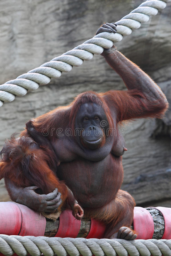Orang-outang sits and hold of baby