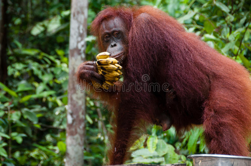 Orang Utan łasowania banany w Borneo Indonezja zdjęcia stock