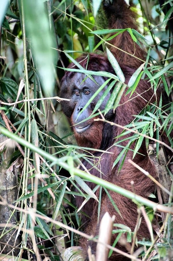 Download Orang utan stock photo. Image of wild, borneo, bamboo - 10917806