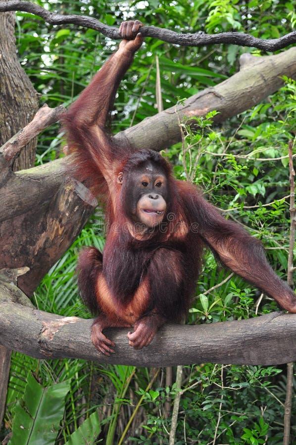 Orang Utan immagini stock libere da diritti