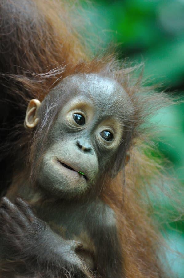 orang utan zdjęcie stock