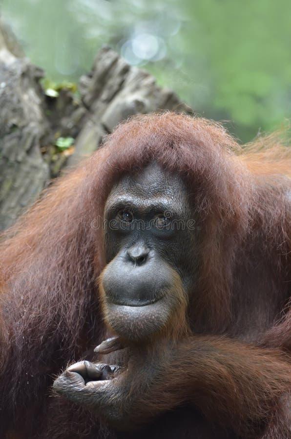 Orang Utan fotografia stock libera da diritti