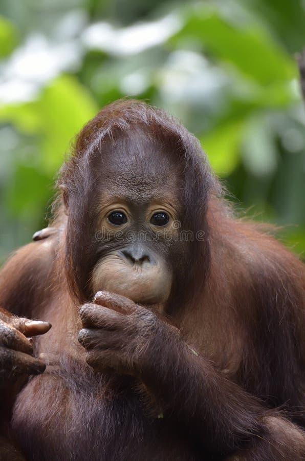 orang utan zdjęcie royalty free