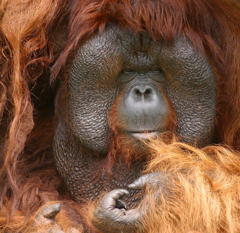 Download Orang Utan stock photo. Image of wild, cute, hairy, animal - 2915286