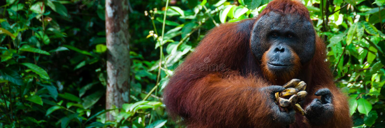 Orang Utan alpha male with banana in Borneo. Orang Utan alpha male standing in Borneo Indonesia, Kalimantan Tanjung Puting royalty free stock photography